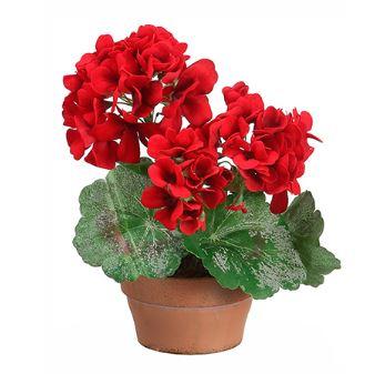 Geranium rojo con maceta