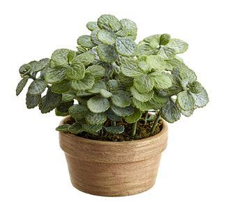 Planta Jade con maceta