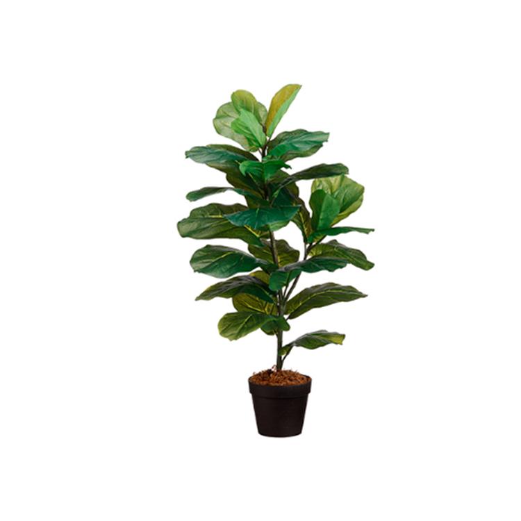 Planta Higo grande